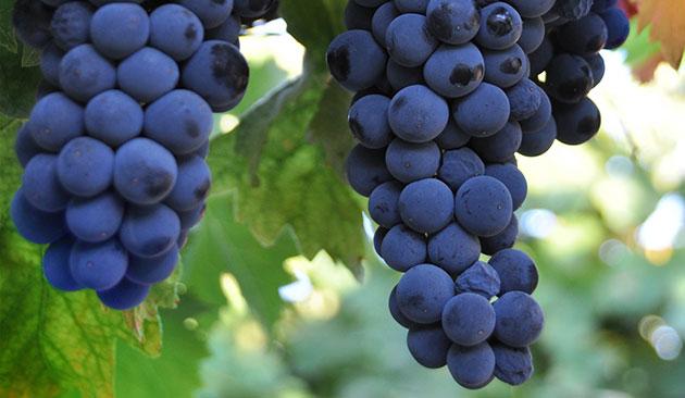 petit verdot azienda vinicola toscana